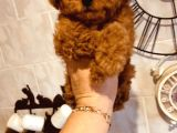 TOY POODLE RED VE DARK RED YAVRULAR