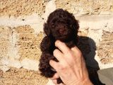TOY POODLE RED ,SİYAH VE CHOCOLATE  YAVRULAR