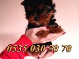 Mini Boy Yorkshire terrier yavrusu