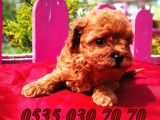 Mini Boy toy poodle yavru