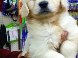 GOLDEN RETRIEVER YAVRULARI