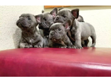 Yavru french bulldog