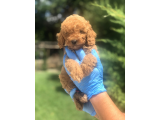 WC EGITIMLI DARK RED TOY POODLE YAVRULAR