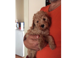 A KALİTE RED TOY POODLE
