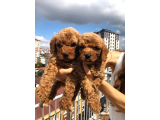 A Kalite Red Toy Poodle