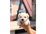 Maltese Terrier Mini