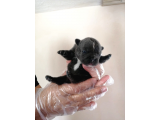 Blue French Bulldog %100 Irk Garantili