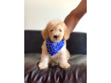APRİCOT TOY POODLE