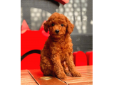 DARK RED TOY POODLE BEBEKLER
