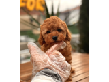 RED BROWN TOY POODLE YAVRULARIMIZ