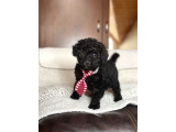 MİNİ BOY POODLE