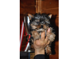 Minicik Yorkshire Terrier (Pupy Card)