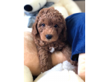 ANNE ALTINDAN RED TOY POODLE