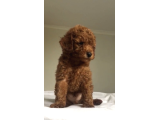 RED TOY POODLE ANNE ALTINDAN